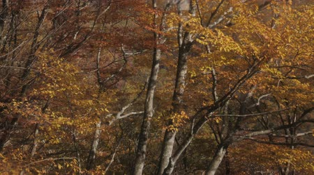 outonal : Fall autumn tree in forest