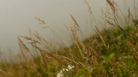 dewy : Grass in the wind with fog nature background.