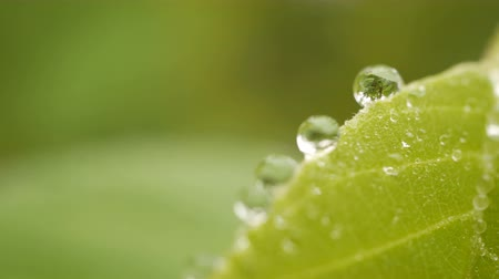 urlop : Close up of dew water on green leaves with blurred nature background.