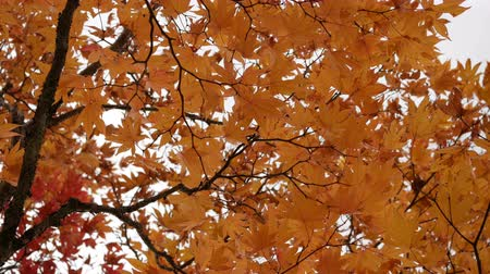 outonal : Orange maple leaves tree blowing in the wind, autumn season.