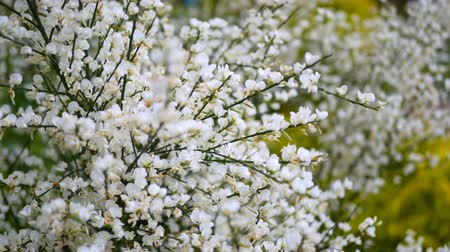Beauty white flowers in spring close up. Stok Video