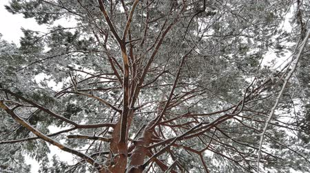 Snow falling with hoarfrost tree in winter season, low angle view.