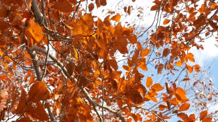 fallen leaves : Orange leaves blowing on the wind. Autumn tree with blue sky.