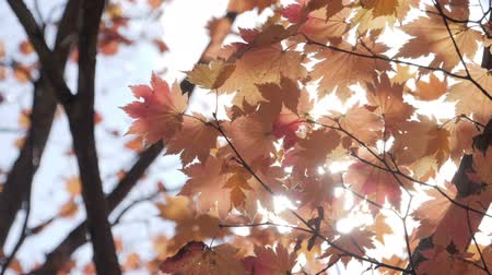 urlop : Yellow maple tree with sunlight at autumn.