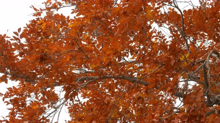 Orange leaves on tree in autumn season.