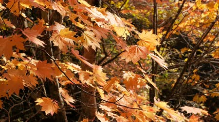 urlop : Orange maple leaves on tree blowing in the wind, autumn season. Wideo