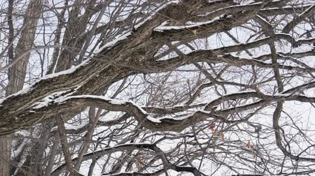 szron : Snow falling with frost covered branches tree in winter, slow motion.