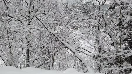 Snow covered on branches tree in winter forest during snow falling. Stockvideo