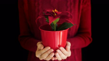 darovat : Female holding christmas poinsettia flower in vase on hand with black background.