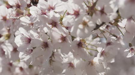 kiraz : Close up sakura flowers with sunlight spring.
