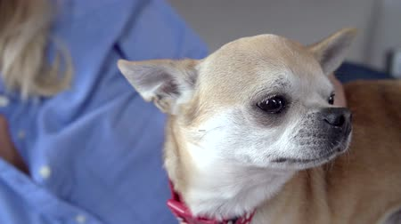 planta de interior : Slow Motion Sequence Of Woman Stroking Pet Chihuahua  Stock Footage