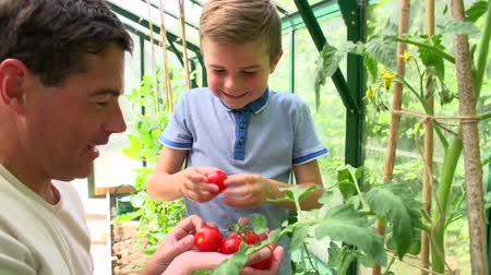self sufficiency : Father And Son Harvesting Home Grown Tomatoes In Greenhouse