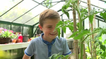 self sufficiency : Boy Picking Home Grown Tomatoes In Greenhouse