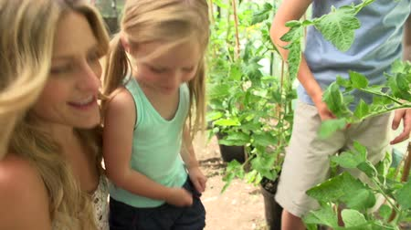 self sufficiency : Mother And Children Harvesting Tomatoes In Greenhouse Stock Footage