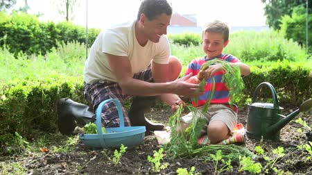 self sufficiency : Father And Son Picking Carrots On Allotment