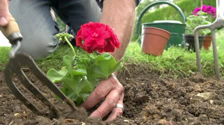 герань : Slow Motion Sequence Of Man Planting Flower In Garden Bed