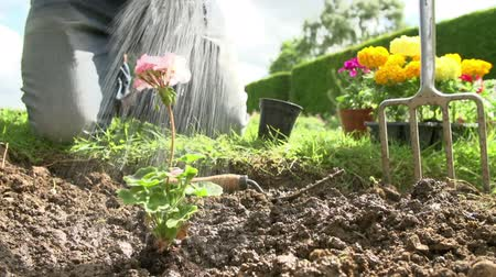 герань : Slow Motion Sequence Of Man Planting And Watering Flower