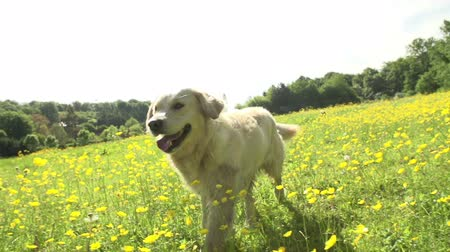run : Slow Motion Sequence Of Golden Retriever Running In Field