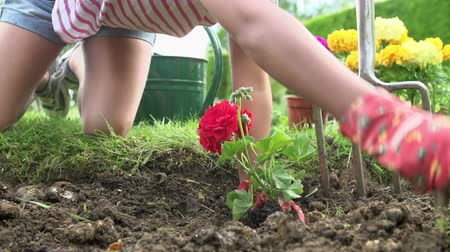 герань : Slow Motion Sequence Of Girl Planting Flower In Garden Bed Стоковые видеозаписи