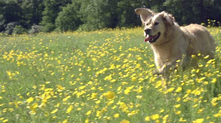 Slow Motion Sequence Of Golden Retriever Running In Field