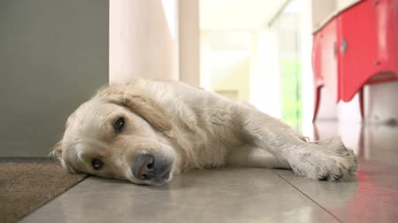 cauda : Golden Retriever Dog Resting Before Getting Up At Home Stock Footage