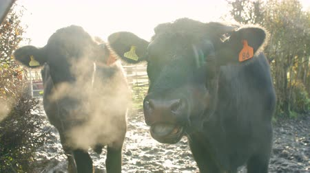 dairy animal : Cattle In Field On Dairy Farm Stock Footage