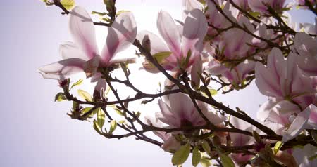 derűs : Sunlight Shining Through Flowers On Magnolia Tree