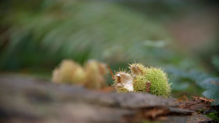 oxfordshire : Close Up Of Empty Conker Cases In Autumn Woodland Stock Footage