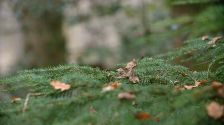 oxfordshire : Close Up Of Coniferous Tree Branches On Tree In Autumn Woods