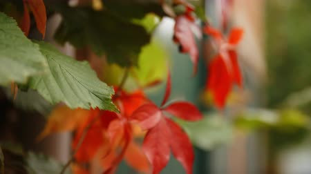 oxfordshire : Slow Motion Close Up Of Autumn Leaves Stock Footage