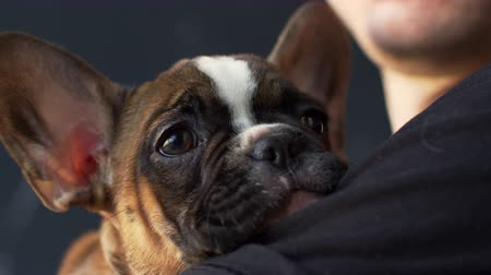 buldog : French bulldog puppy held in hands, close up, shot on R3D Wideo