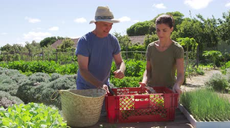 self sufficiency : Father With Adult Daughter Harvesting Produce From Allotment