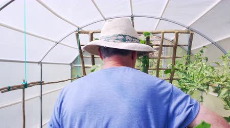 self sufficiency : Senior Man Checking Cucumbers Growing In Allotment Greenhouse