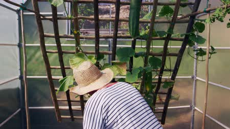 self sufficiency : Mature Woman Checking Cucumbers Growing In Allotment Greenhouse
