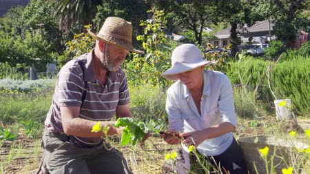 home grown : Senior Couple Harvesting Beetroot On Community Allotment Stock Footage