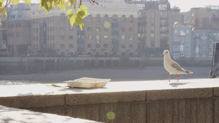 逆光 : Young seagull investigating and deciding against an abandoned takeaway left on the embankment wall by the River Thames in the City of London, backlit, close up