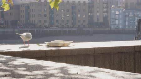 Лондон : Close up of young seagull stealing scraps of food from an abandoned takeaway in a plastic container left on the embankment wall by the River Thames in the City of London, backlit