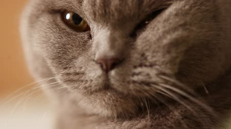 on the prowl : British short haired cat staring at the camera Stock Footage