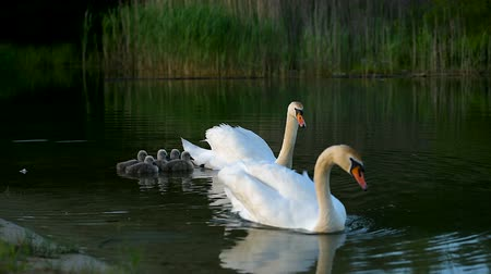 Big family of white wild swans with small ducklings swimming in the lake Dostupné videozáznamy