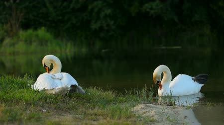 Big family of white wild swans with small ducklings in nesting place