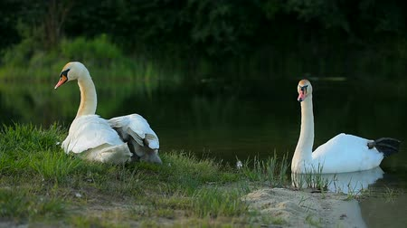 membro : Big family of white wild swans with small ducklings in nesting place
