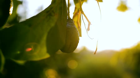 avokado : Avocado fruit grooving on the tropical garden in the glory of the sunset. Cambodia, Banlung province.