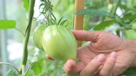 éretlen : Green immature natural tomato growing on the branch in greenhouse. Woman checking shape of vegetable.