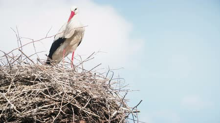 ciconiidae : white storks with offspring on nest. The white stork (ciconia ciconia)