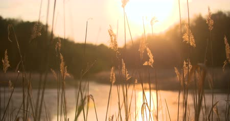 kamış : Sunset Through the Reeds. Silver feather grass swaying in wind.