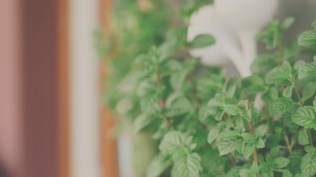 mint groen : Verse munt in de tuin Stockvideo