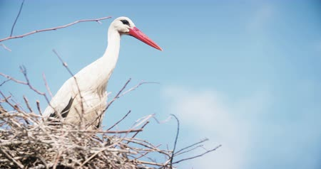 hnízdo : Stork in the nest in the summer. Nature background