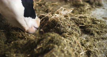 nyáj : Cow eating hay in farm barn agriculture. Dairy cows in agricultural farm barn.