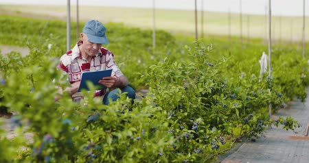 borůvka : Confident male farm researcher examining and tasting blueberry on field