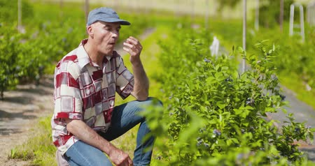 ajoelhado : Confident male farm researcher examining and tasting blueberry on field
